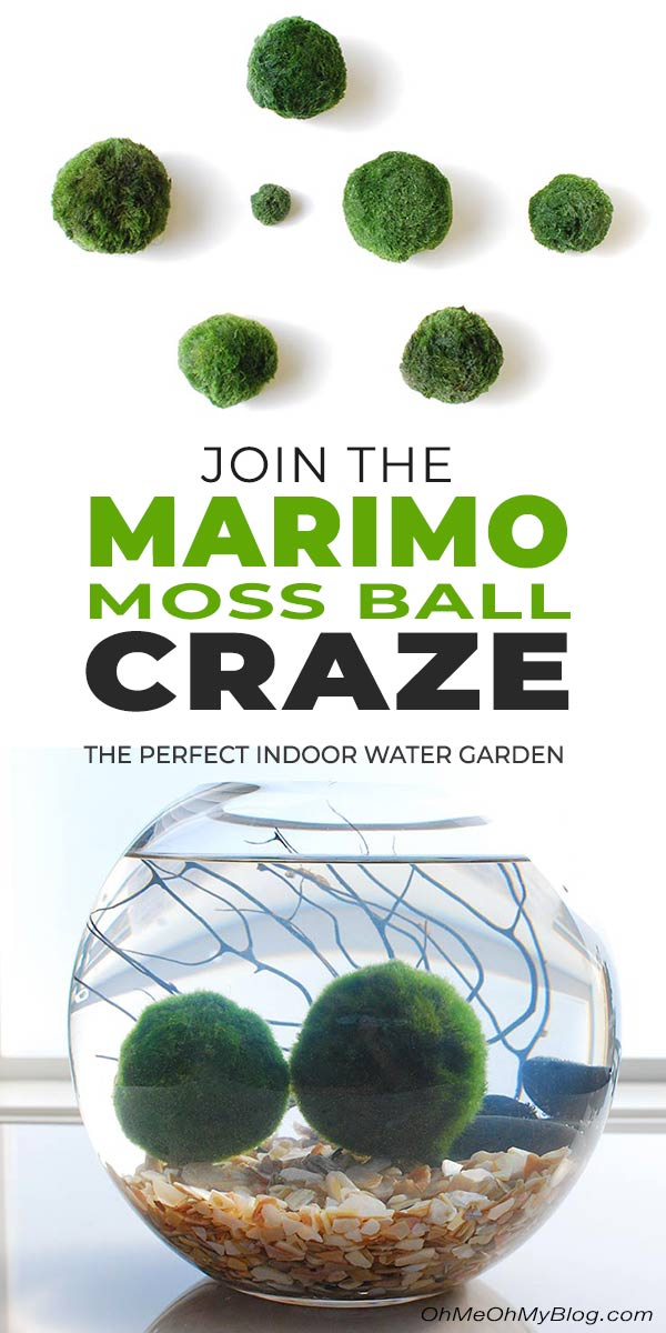 Join The Marimo Moss Ball Craze Perfect Indoor Water